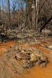 Пары общей жабы в предыдущей весне во время размножения приправляют Стоковая Фотография RF