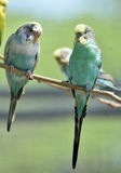 Пары общих длиннохвостых попугаев на тонкой ветви дерева Стоковая Фотография