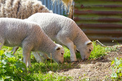 Пары овечек весны Стоковая Фотография