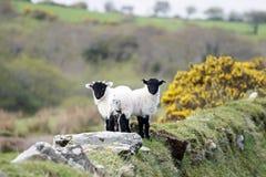 Пары овечек Стоковые Изображения RF
