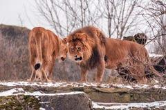 Пары одичалых львов Стоковое фото RF