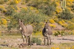 Пары одичалых Burros в пустыне Стоковая Фотография