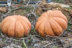 Пары оранжевой тыквы в саде стоковое изображение
