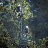 Пары орлов в сосне Стоковые Фото