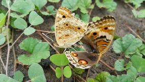Пары ответной части бабочки стоковая фотография rf