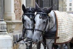 Пары лошадей на прогулке Стоковые Фото
