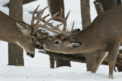Пары оленей whitetail Стоковые Изображения