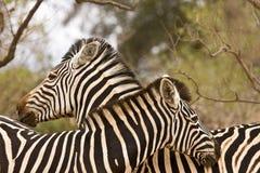 Пары одичалых зебр, время нежности, Kruger, Южная Африка Стоковое фото RF