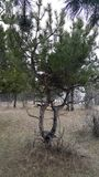 Пары переплетаннсяых деревьев Стоковая Фотография RF