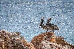 Пары пеликана на утесе в Вест-Инди Стоковое Изображение RF