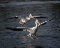 Пары пеликанов посадки Стоковые Фото