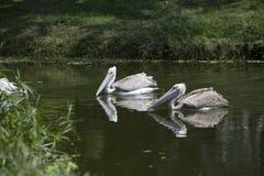 Пары пеликанов подпертых пинком Стоковая Фотография