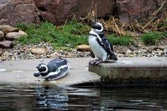 Пары пингвина Гумбольдта принимая ванну Стоковое фото RF
