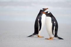 Пары пингвина Gentoo на пляже Стоковая Фотография