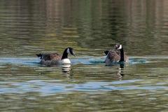 Пары плавания canadensis чёрной казарки гусынь Канады на озере в предыдущей весне с отражениями растительности стоковые изображения rf