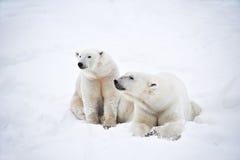 Пары полярных медведей Стоковое Изображение