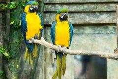Пары попугаев, сине-и-желтое ararauna ara ары сидя дальше Стоковые Изображения
