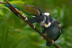 Пары попугая птиц, зеленых и серых, Бело-увенчанного Pionus, Бело-покрытого попугая, senilis Pionus, в Коста-Рика Lave на дереве Стоковое Изображение RF