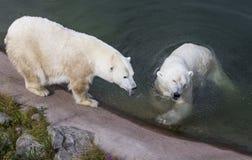 Пары полярного медведя в зоопарке Ranua Стоковая Фотография