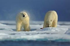 Пары полярного медведя на льде смещения с снегом на ледовитом Свальбарде Стоковая Фотография