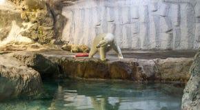Пары полярного медведя (также известного как Thalarctos Maritimus) Стоковое Изображение RF