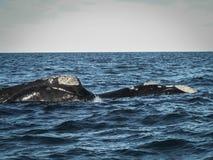 Пары правильных китов вверх закрывают Стоковые Изображения RF