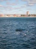 Пары правильных китов перед Puerto Madryn Стоковое Изображение RF
