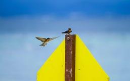 Пары птицы ласточки Стоковые Изображения RF