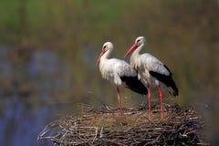 Пары птиц белого аиста на гнезде Стоковые Фотографии RF