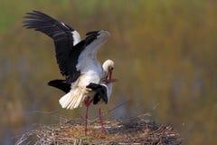 Пары птиц белого аиста на гнезде Стоковое фото RF