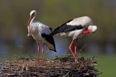 Пары птиц белого аиста на гнезде Стоковое Изображение RF