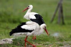Пары птиц белого аиста на травянистом луге весной приправляют Стоковые Изображения