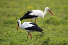 Пары птиц белого аиста на травянистом луге во время весны n Стоковые Фотографии RF