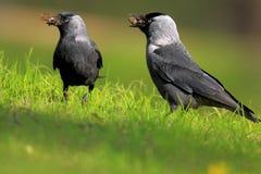 Пары птиц галки на травянистых заболоченных местах весной приправляют Стоковое фото RF