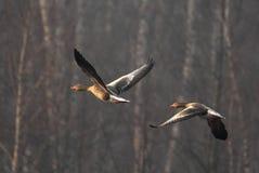 Пары птиц гусыни Greylag в полете Стоковые Изображения RF