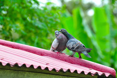 Пары птиц животных симпатичного голубя Стоковые Фотографии RF
