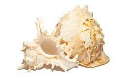 Пары пустых seashells на белизне Стоковые Изображения RF