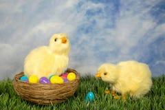 Цыпленоки пасхи с яйцами стоковое изображение