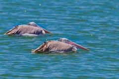 Пары Пятн-представленного счет пеликана (philippensis Pelecanus) Стоковая Фотография RF