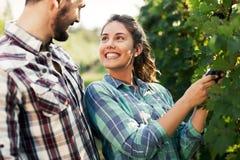 Пары работая в винограднике Стоковое фото RF