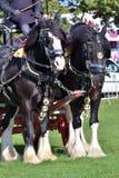 Пары работая лошадей графства Стоковое Изображение