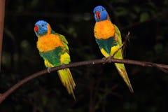 Пары радуги Lorikeets Стоковая Фотография