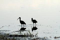 Пары размножения лоснистого Ibis Стоковое Изображение