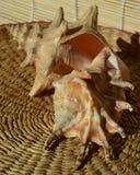 Пары раковин моря Стоковое фото RF