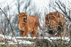 Пары реальных львов Стоковое Изображение RF