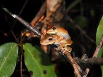 Пары древесной лягушки каторжник на ноче стоковые фото