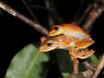 Пары древесной лягушки каторжник на ноче стоковое изображение