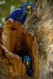 Пары редкой птицы, голубой ары гиацинта попугая в дереве гнезда в Pantanal, отверстии дерева, животном в среду обитания природы,  Стоковая Фотография RF