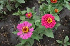 Пары розовых цветков Zinnia стоковые фото
