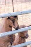 Пары дружелюбных коз на petting ферме Стоковые Изображения